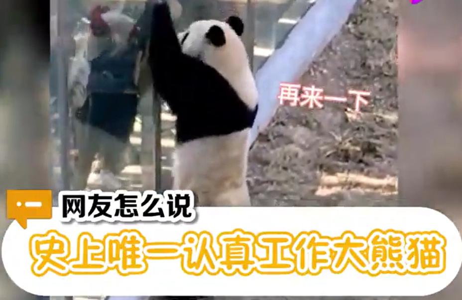 萌哭众人!国宝宠粉时间到!辽宁大熊猫热情跟游客击掌互动